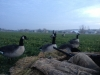 Looks Like A Goosey Morning