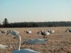 Snow Goose Spread